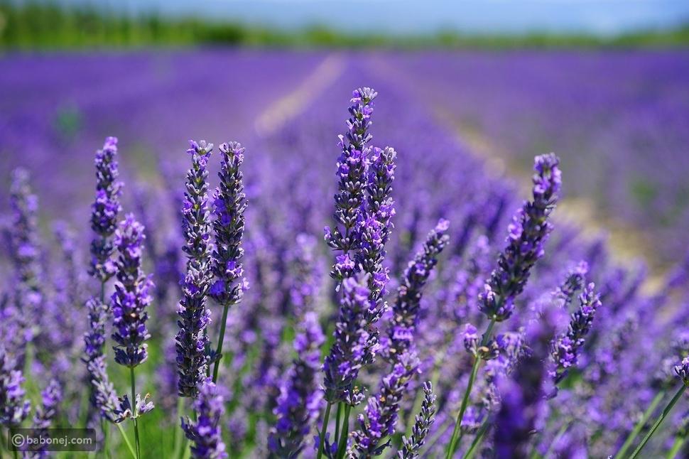 11 نوع من الأزهار الصالحة للأكل والمفيدة للصحة