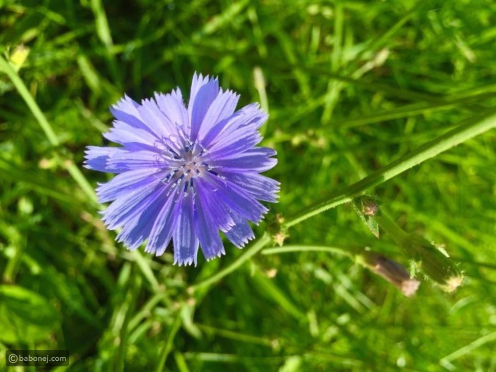 زهرة الشيكوريا الزرقاء
