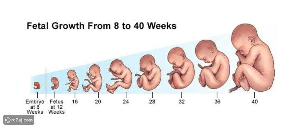 تشكل الجنين البشري وتطوره