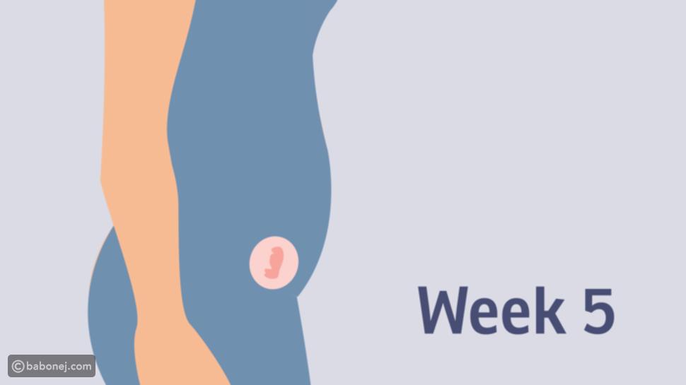 صورة تطور الجنين في الأسبوع الخامس