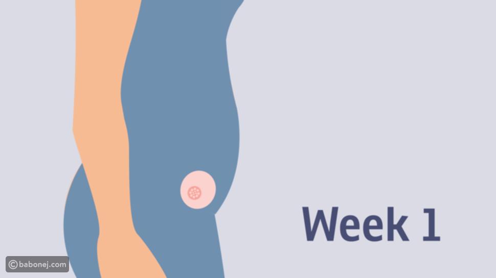 صورة تطور الجنين في الأسابيع الأربعة الأولى