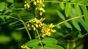 فوائد عشبة السنامكي